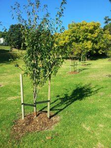 Fruit trees Grey Lynn park